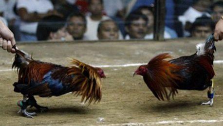 Ayam Unggulan di S128 atau SV388